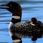 loon Vermont and New Hampshire group tours